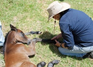 A new foal in care of the Outback Heritage Horse Association of WA