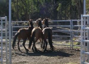 New arrivals need to settle in small yards at the New England Brumby Sanctuary