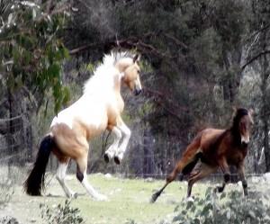 Brumby stallion STB Baringa