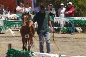 The Annual Auction of Coffin Bay yearling Brumbies