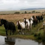 Dartmoor Ponies in Dartmoor National Park