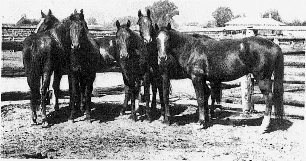 BHP Brumbies destined for India Myrtleford saleyards1890's